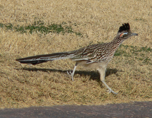 A real roadrunner in the brush