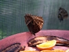 butterfly feasts on fruit