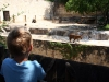 Luke watches tiger